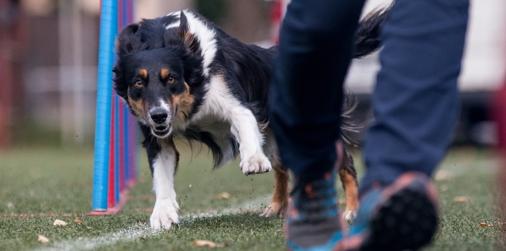 dog and human running agility course