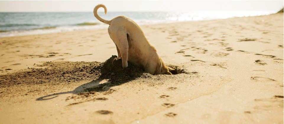 dog digging hole at beach, dog digging hole, happy dog, dog at beach, dog playing at beach, dog having fun, Cadet Pet, Cadet Pet dog treats