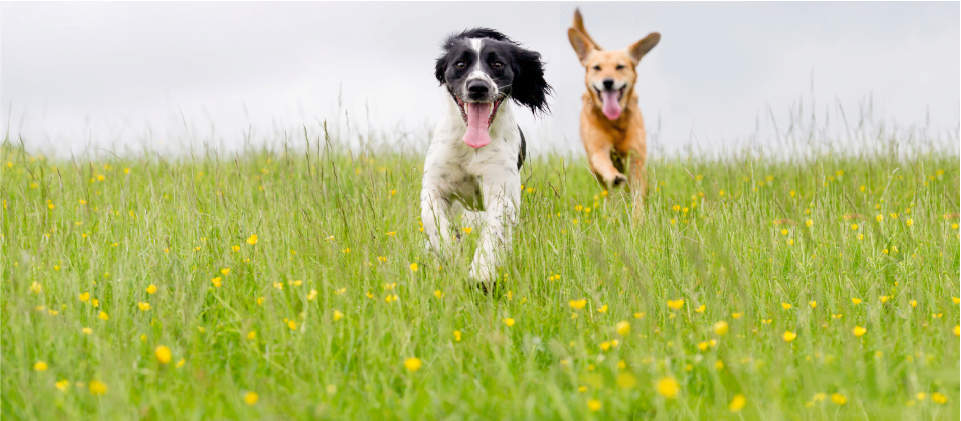 dogs running through a field, dogs running, dogs running in grass, dogs running with tongues out, happy dogs, dog chasing another dog, playful dogs, excited dogs, Cadet Pet, Cadet Pet dog treats